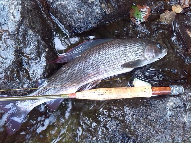 Nice Swedish grayling